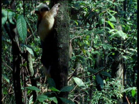 Tamandua climbs slowly down tree trunk then runs back up, Brazil