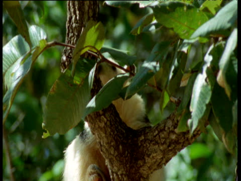 Tamandua climbs tree amongst foliage, Brazil