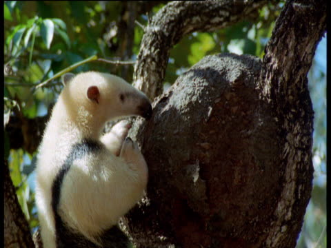 Tamandua licks ants off of swollen tree trunk, Brazil