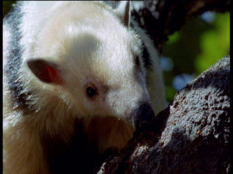 tamandua licks ants off of tree trunk, brazil - tongue stock videos and b-roll footage
