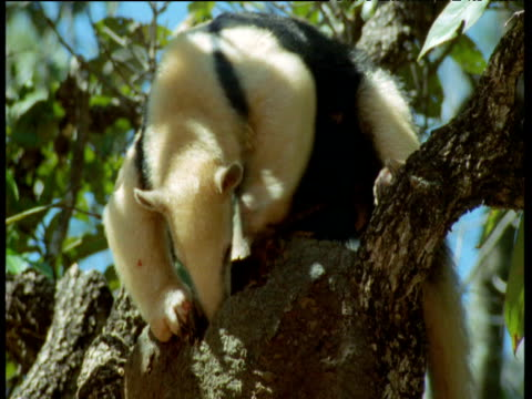 Tamandua rips into ball shaped ants' nest on tree to eat ants, Brazil