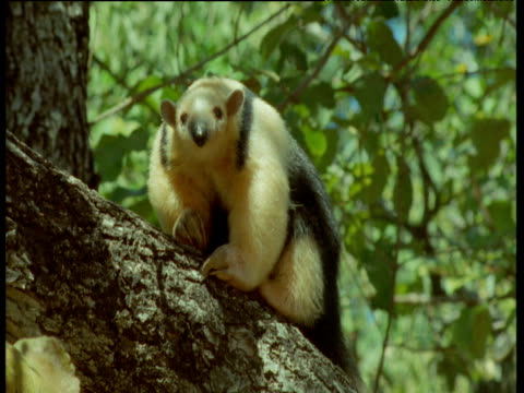 Tamandua sniffs branch then scratches and sticks its tongue out, Brazil