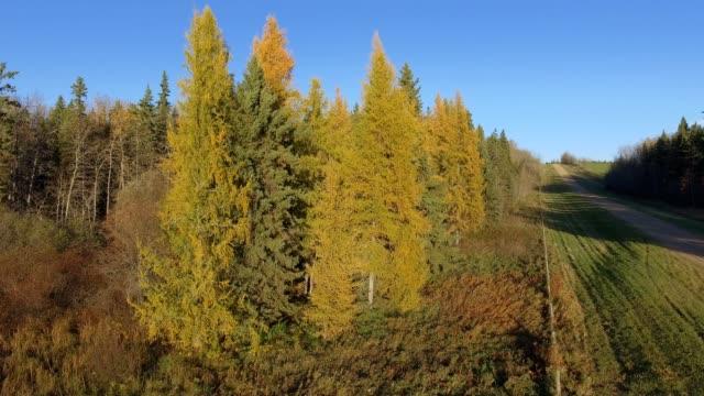 vídeos y material grabado en eventos de stock de tamarack forest - pinaceae
