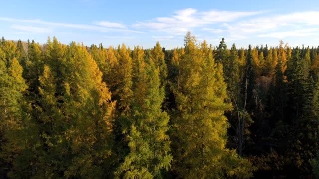 stockvideo's en b-roll-footage met tamarack forest - naaldboom