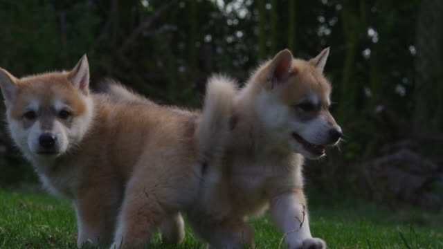 slomo ms 2 tamaskan pups look around in garden - hundeartige stock-videos und b-roll-filmmaterial