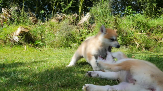 stockvideo's en b-roll-footage met 2 tamaskan pups play fight close to camera in garden - meer dan 50 seconden