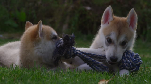 slomo cu 2 tamaskan pups play fight with rope toy in garden - welpe stock-videos und b-roll-filmmaterial