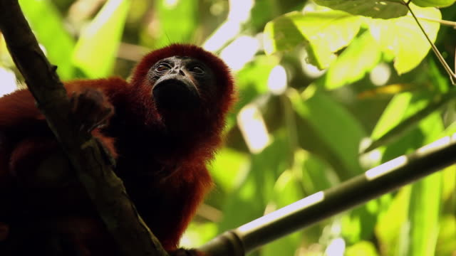 tambopata national reserve, madre de dios-peru - south america stock videos & royalty-free footage