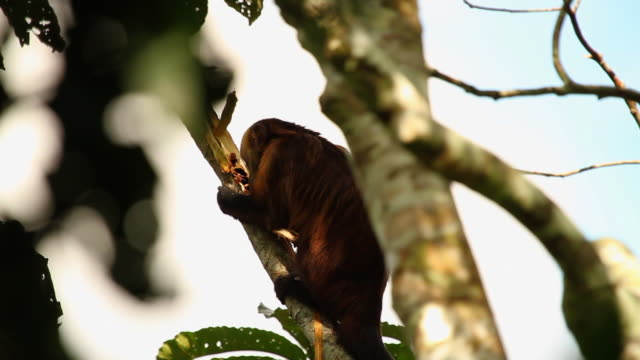 vídeos de stock, filmes e b-roll de tambopata national reserve, madre de dios-peru - tambopata