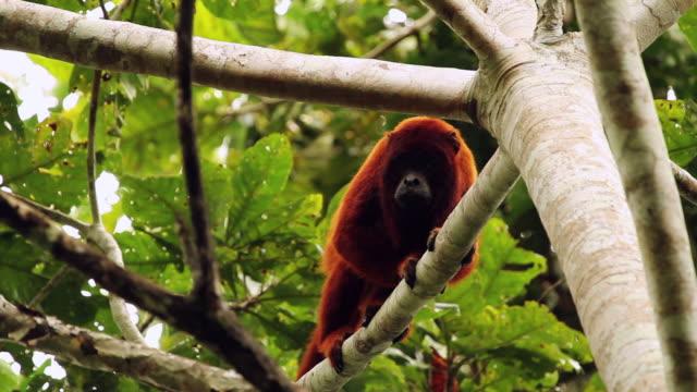 tambopata national reserve, madre de dios-peru - 一匹点の映像素材/bロール