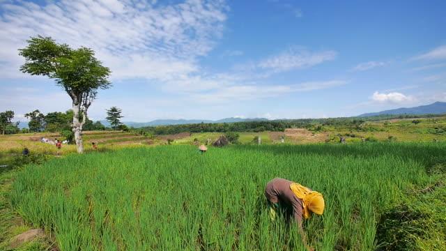 vidéos et rushes de tambora farmer. - chapeau de paille