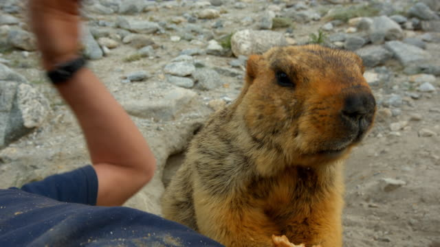 a tame marmot eats a biscuit - 50 seconds or greater stock videos & royalty-free footage