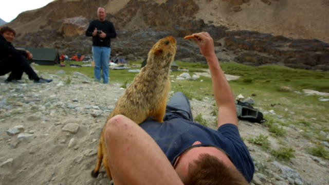 A tame marmot eats a biscuit