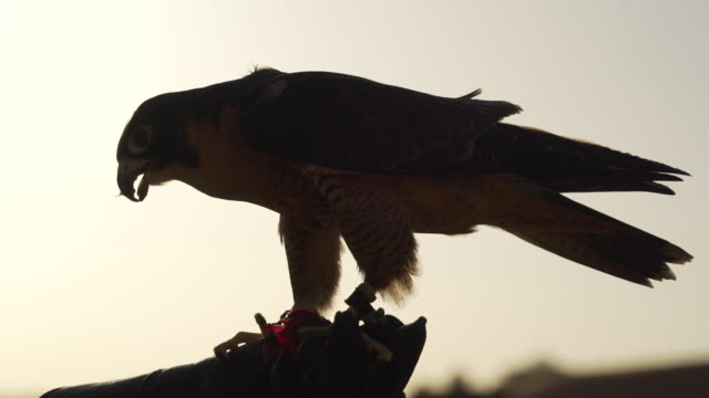 tamer holds peregrine falcon, close up - wanderfalke stock-videos und b-roll-filmmaterial