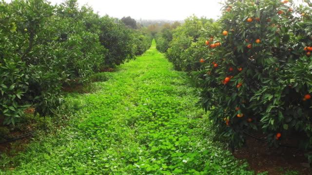 tangerine garden - orchard stock videos & royalty-free footage