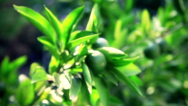 vidéos et rushes de hd: arbre mandarine - jardin potager