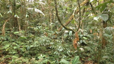 vídeos de stock, filmes e b-roll de tangle of lianas hanging in the rainforest understory, ecuador - embaraçado