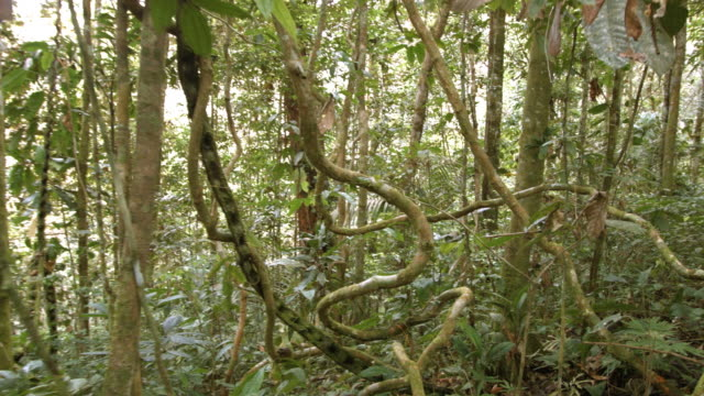 tangle of lianas hanging in the rainforest understory, ecuador - vine stock videos and b-roll footage