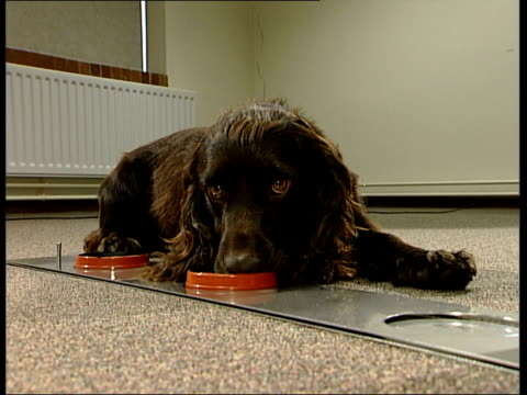 tangle the spaniel sniffing dishes containing urine and stopping at the one that contains the sample of a patient with bladder cancer - bladder stock videos & royalty-free footage