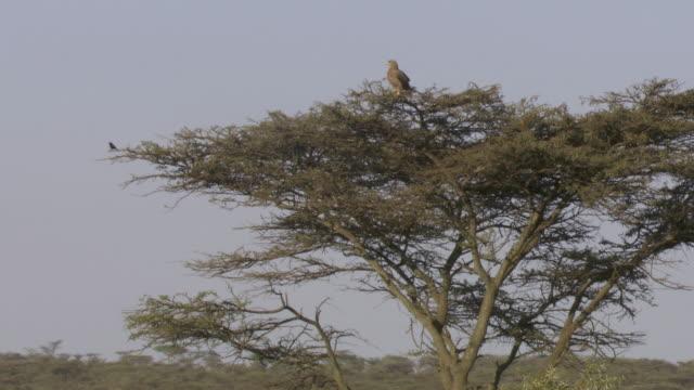 ws tanzania eagle on tree / tanzania - gruppo medio di animali video stock e b–roll