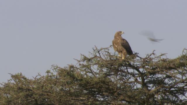 stockvideo's en b-roll-footage met ms tanzania eagle on tree / tanzania - kleine groep dieren