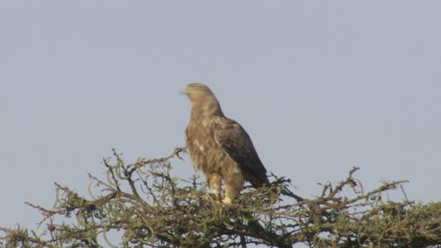 ms tanzania eagle on tree / tanzania - gruppo medio di animali video stock e b–roll