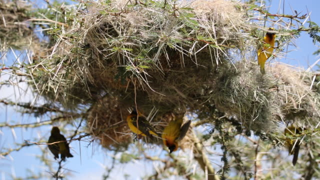 tanzania, ngorongoro crater-weavers colony on acacia tree- close up on some males building the nests - acacia tree stock videos & royalty-free footage