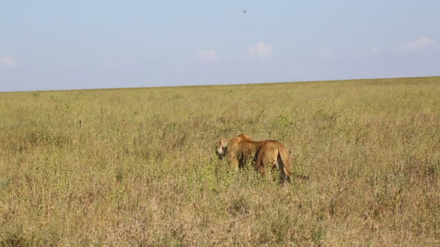 tanzania, serengeti national park, a lioness strating an ambush on a wildebeest herd - ambush stock videos and b-roll footage