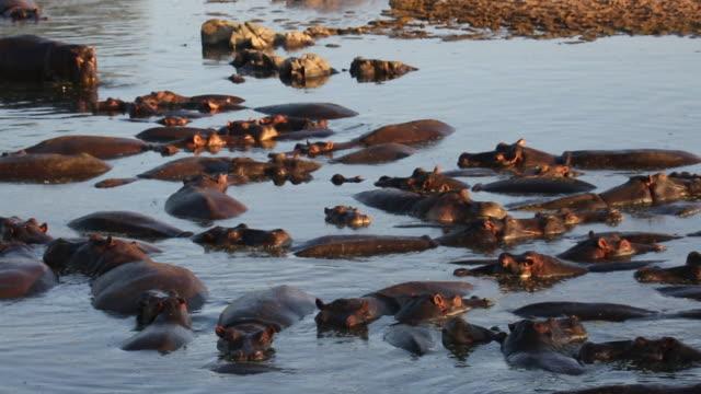 tanzania, serengeti national park, dozens of hippos in the water - タンザニア点の映像素材/bロール