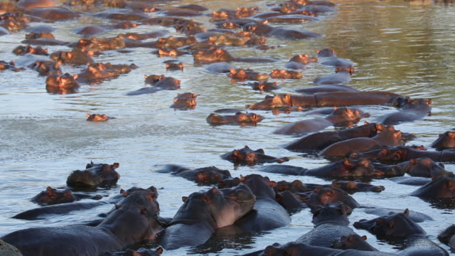 tanzania, serengeti national park, dozens of hippos in the water - hippopotamus stock videos & royalty-free footage