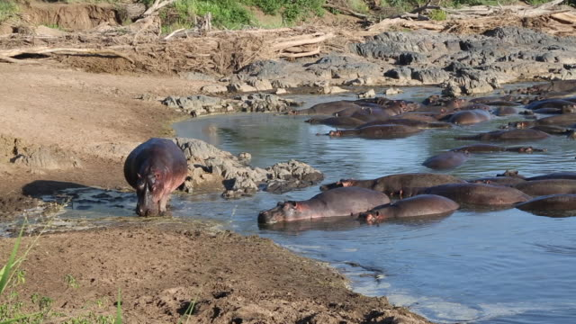 tanzania, serengeti national park, dozens of hippos in the water - group of animals stock videos & royalty-free footage