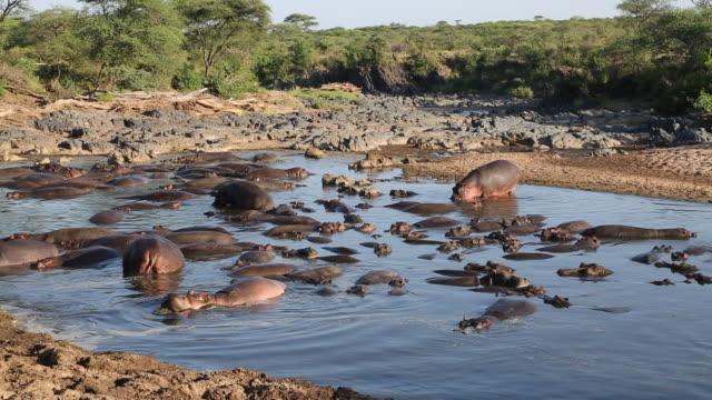 stockvideo's en b-roll-footage met tanzania, serengeti national park, dozens of hippos in the water - boven water komen