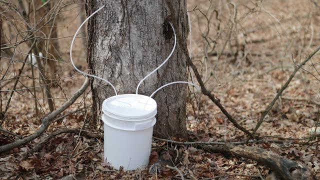 A tap gathers sap from a maple tree into a bucket to make wood fired maple syrup at the Knightridge Farmstand Sunday March 10 2019 Weather in the...