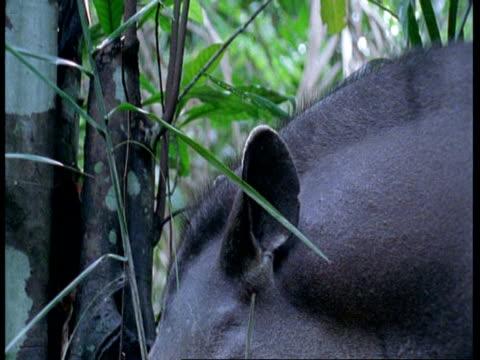 cu tapir eating leaves, south america - tierische nase stock-videos und b-roll-filmmaterial