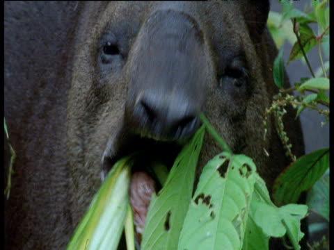 tapir faces camera and eats leaves, ecuador - futter suchen stock-videos und b-roll-filmmaterial