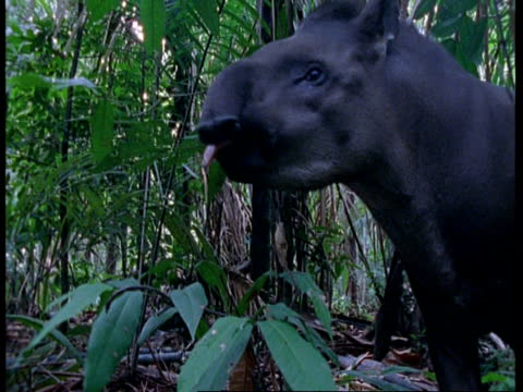cu tapir feeding on leaves and sniffing around, south america - mammal stock videos & royalty-free footage