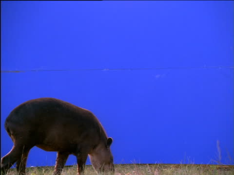 tapir forages against blue background - animal nose stock videos & royalty-free footage