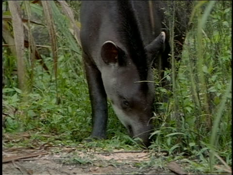 a tapir grazes on a path in manu national park, peru. - animal nose stock videos & royalty-free footage
