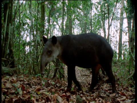 tapir looks hesitant in rainforest then exits, costa rica - アリクイ点の映像素材/bロール