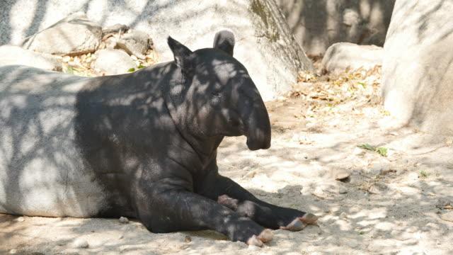 Tapir on ground.