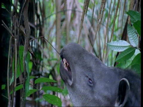 cu tapir reaching up to eat leaves, south america - tierische nase stock-videos und b-roll-filmmaterial