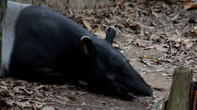 tapir sleep on ground in deep jungle wildness , wild animal in tropical forest, Thailand