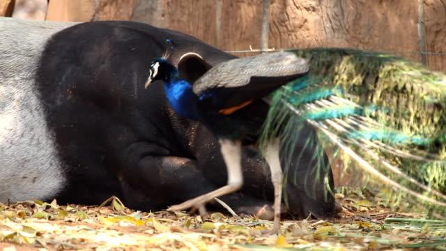 vídeos de stock e filmes b-roll de tapir (tapirus indicus) - parte do corpo animal