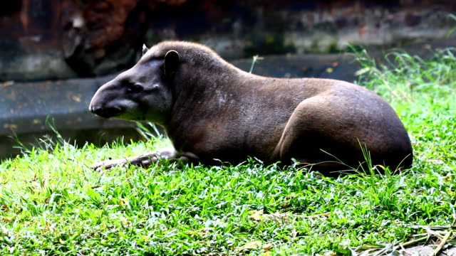 tapir , wildlife - textile patch stock videos & royalty-free footage