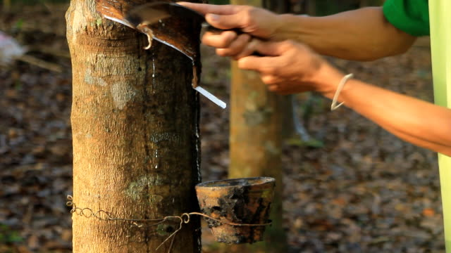 stockvideo's en b-roll-footage met tapping latex from a rubber tree - hars