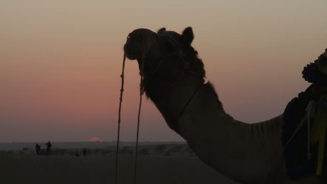 vidéos et rushes de cu tar dessert at sun setting with camel / sam sand dunes, rajasthan, india - animaux au travail