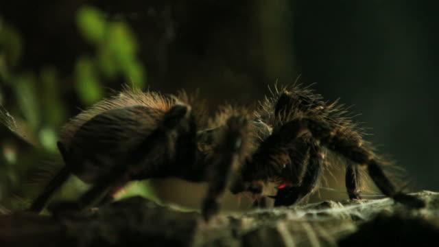 tarantula 1080 hd - spider stock videos and b-roll footage