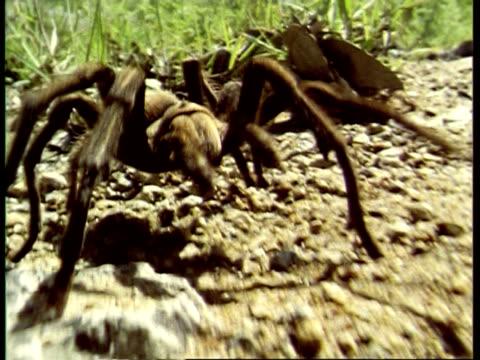 bcu tarantula, aphonopelma chalcodes, crawling to camera, usa - arachnophobia stock videos and b-roll footage