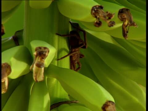 vídeos de stock, filmes e b-roll de a tarantula clings to the stem of a banana plant. - invertebrado