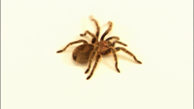 tarantula crawling - spider stock videos & royalty-free footage